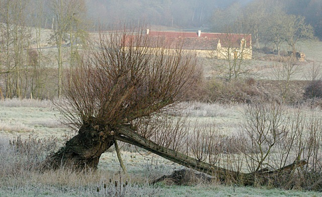 The first willow to be attacked... as it was left in 2005