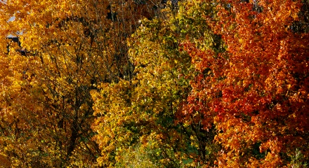 A Klimt image of our Norway Maples