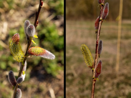 Two images of Cohu Blue catkins